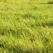 Lush green grass background — Stock Photo