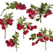 Six branches of red cowberries collection - Stock Photo