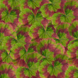 Geranium leaves background — Stock Photo