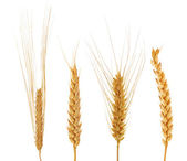 Set of four ears of wheat — Stock Photo