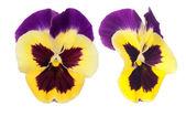 Duas flores amor-perfeito isoladas no branco — Fotografia Stock