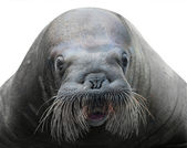 Walrus close-up isolated on white — Stock Photo