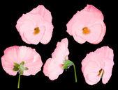 Růžová maceška květina z různých stran — Stock fotografie