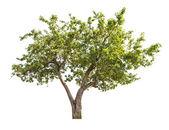 Geïsoleerde appelboom met kleine vruchten — Stockfoto