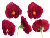 Flor vermelha de pansy de lados diferentes — Foto Stock