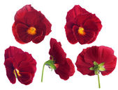 Red pansy flower from different sides — Stok fotoğraf