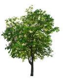 Blossom chestnut tree on white — Stock Photo