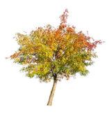 Golden rowan tree with berries on white — Stock Photo