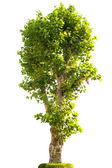 London plane tree in grass — Stock Photo