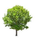 Isolated green summer oak tree — Stock Photo