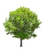 árbol aislado roble verde verano — Foto de Stock