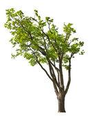 大春天隔离橡木 — 图库照片