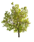 Green spring oak tree isolated on white — Stock Photo