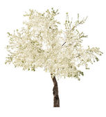 White blooming isolated tree — Stock Photo