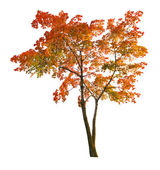 Red autumn maple tree isoalted on white — Stock Photo