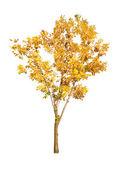 Solo árbol otoño dorado aislado en blanco — Foto de Stock