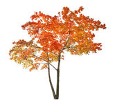Red isolated autumn maple tree — Stock Photo