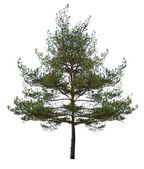 Small single pine isolated on white — Stock Photo
