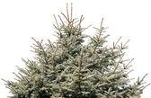 Light fir tree isolated on white — Stock Photo
