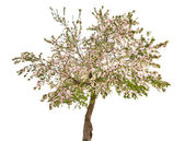 Isolated apple tree with white flowers — Stock Photo