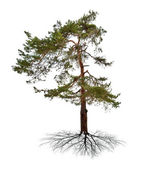 Green single pine with root — Stock Photo