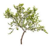 Small apple tree blossom — Stock Photo