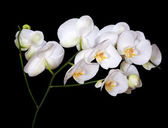 White orchids with yellow centers on black — Stock Photo