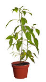 Chili pepper plant in brown pot — Stock Photo
