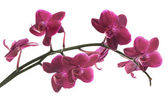Isolated on white branch with many pink orchids — Stock Photo