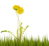 Two yellow bright dandelions in grass — Stock Photo