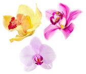Three isolated orchide flowers set — Stock Photo
