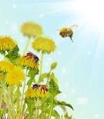 Bees on yellow dandelion flowers — Stock Photo