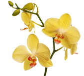 Golden orchid flowers isolated on white — Stock Photo