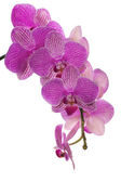 Isolated dark pink orchid blossom cluster — Stock Photo