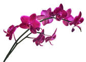 Isolated on white branch with many dark pink orchids — Stock Photo