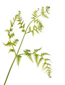 Yeşil fern bitki üzerinde beyaz izole — Stok fotoğraf