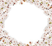 Isolated cherry-tree white flowers frame — Stock Photo
