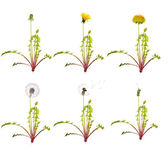 Dandelion from the begining to senility — Stock Photo
