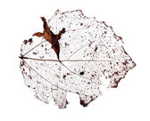 Past year dead isolated leaf — Stock Photo