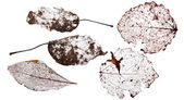 Five brown dead leaves — Stock Photo
