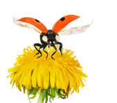 Yellow bright dandelion and red ladybird — Stock Photo