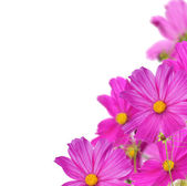 Large pink flowers corner on white — Stock Photo
