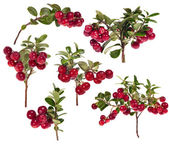 Six branches of red cowberries collection — Stock Photo