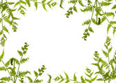 Green isolated on white fern frame — Stock Photo