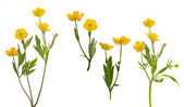 Isolated collection of yellow buttercup flowers — Stock Photo