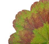 Part of geranium leaf isolated on white — Stock Photo