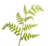 Spring green new fern on white — Stock Photo