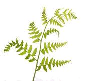 Nowa paproć wiosna zielony biały — Zdjęcie stockowe