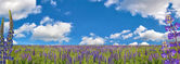 Lupin flowers on large field — Stock Photo