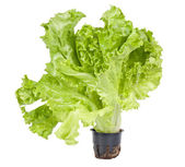 Green lettuce isolated on white — Stock Photo